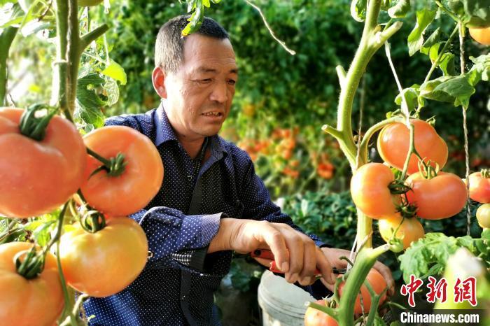 在西红柿大棚里忙碌的魏国良。 李薇 摄